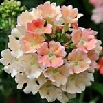 Verbena_Peaches_and_Cream