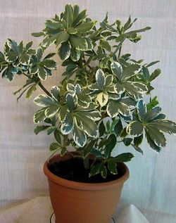pittosporum variegata